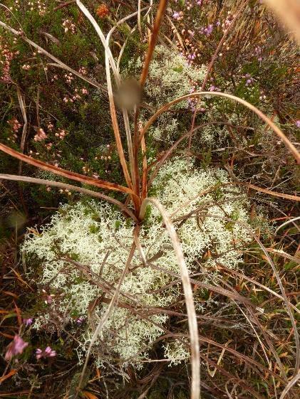 healthy cladonia lichen